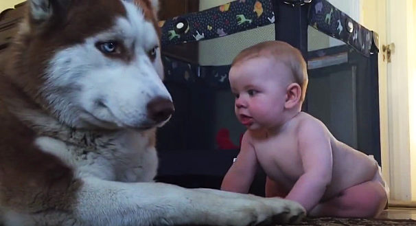 Zlatý husky sa pred dieťatkom snažil tváriť drsne. O pár sekúnd sa s ním ale začal pekne hrať!